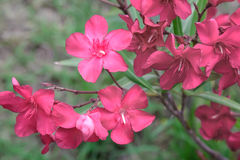 Beautiful blooming pink oleander Bush in the sunshine.. Royalty Free Stock Photo