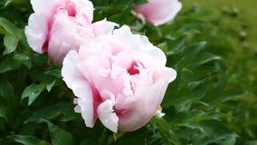 Beautiful blooming pink peonies stock video footage