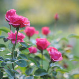 Beautiful blooming pink rose bushes Royalty Free Stock Photo