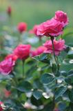 Beautiful blooming pink rose bushes Stock Photo