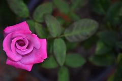 Beautiful Blooming Pink Rose Flower with Blur Background stock photos