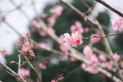 Beautiful blooming pink sakura flowers Yaezakura are in front Royalty Free Stock Photo