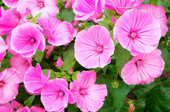 Beautiful blooming. Pink spring flowers Stock Images