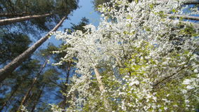 Beautiful blooming plum tree against blue sky . Beautiful blooming plum tree against blue sky. Springtime, view from the bottom. Slow motion stock footage