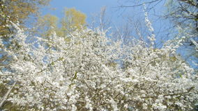 Beautiful blooming plum tree against blue sky . Beautiful blooming plum tree against blue sky. Springtime, view from the bottom. Slow motion stock video