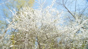 Beautiful blooming plum tree against blue sky . stock footage