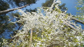 Beautiful blooming plum tree against blue sky . Beautiful blooming plum tree against blue sky. Springtime, view from the bottom. Slow motion stock video footage