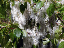Beautiful blooming poplar fluff Stock Images
