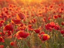 Blooming poppies in the summer sunset light Stock Photography