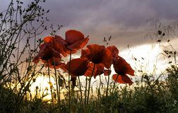 Beautiful blooming poppies in the summer sunset light royalty free stock photos
