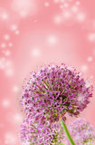 Beautiful Blooming Purple Allium Close Up, Greeting or Wedding Card design. Stock Photo