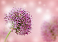 Beautiful Blooming Purple Allium Close Up, Greeting or Wedding Card design. Stock Photos