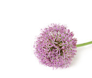 Beautiful Blooming Purple Allium, onion flower isolated on a white background, Royalty Free Stock Image
