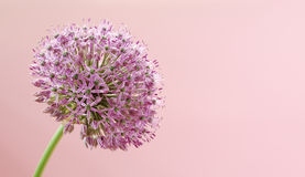 Beautiful Blooming Purple Allium, onion flower Stock Photography