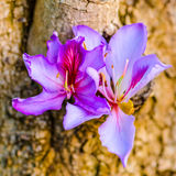 Beautiful blooming purple Bauhinia purpurea or Orchid Tree on wo Royalty Free Stock Images