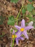 Beautiful blooming  purple flower of Sparrow's Brinjal or Indian Nightshade Stock Image