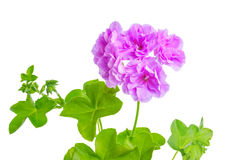 Beautiful blooming purple geranium flower with green leaves is i Stock Photography