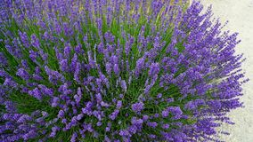 Blooming purple lavender plant in Lavender farm, New Zealand. Beautiful blooming purple lavender plant in Lavender farm, New Zealand royalty free stock photos