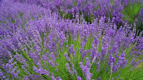 Blooming purple lavender plant in Lavender farm, New Zealand. Beautiful blooming purple lavender plant in Lavender farm, New Zealand stock photos