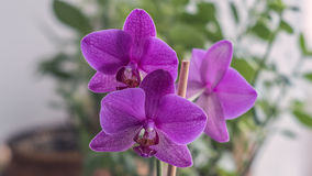 Beautiful blooming purple orchid close up. The beautiful blooming purple orchid close up royalty free stock photo