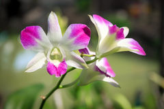 Beautiful blooming purple orchid. Royalty Free Stock Images