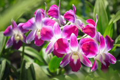 Beautiful blooming purple orchid. Stock Photography