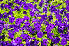 Beautiful blooming purple petunia flowers background, stock images