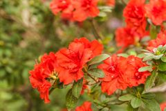 Red azalea rhododendron Appolo. Beautiful blooming red azalea rhododendron Appolo stock photography