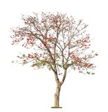 Beautiful blooming red coral tree stock image