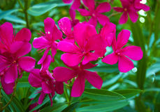 The beautiful blooming red flower - oleander.  Beautiful oleande Stock Images