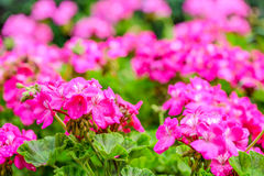 Beautiful blooming red geranium flower with green leaves in   na Stock Images