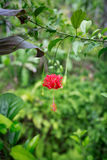 Beautiful Blooming red hibiscus flowers Stock Photography