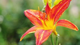 Beautiful blooming red lily in the garden. Summer time. slow motion. 3840x2160 stock video