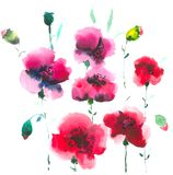 Beautiful blooming red poppies. Unbroken buds will soon bloom. royalty free illustration
