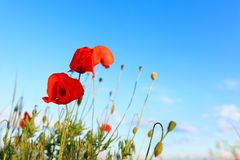 Beautiful blooming red poppy flowers in field against blue sky. Space for text royalty free stock photos