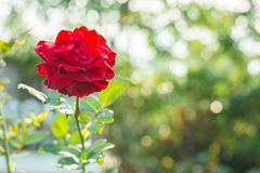 Beautiful blooming red rose in the garden Royalty Free Stock Image