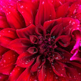Beautiful blooming red velvet petals dahlia macro of raindrops, Royalty Free Stock Image