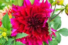Beautiful blooming red velvet petals dahlia macro of raindrops, Royalty Free Stock Images