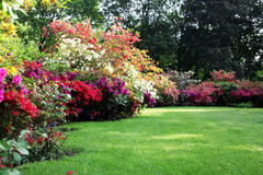 Free Beautiful Blooming Rhododendron In The Garden Royalty Free Stock Images - 19510759