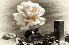 Beautiful blooming rose Stock Photos