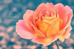 Beautiful blooming rose Stock Photo