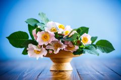 Beautiful blooming roses and a greeting card for the mother Stock Image