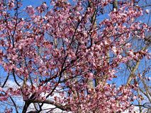 Beautiful blooming Sakura. Cherry blossom. In Japan, the sakura symbolizes the clouds. Due to the fact that many cherry blossoms often blossom at once. Closeup royalty free stock photo