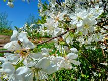 Beautiful blooming Sakura. Cherry blossom. In Japan, the sakura symbolizes the clouds due to the fact that many cherry blossoms. Often blossom at once royalty free stock photography