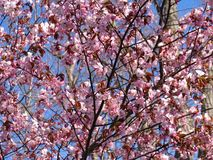 Beautiful blooming Sakura. Cherry blossom. In Japan, the sakura symbolizes the clouds. Due to the fact that many cherry blossoms often blossom at once. Closeup stock photography