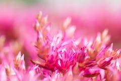 Beautiful blooming Sedum, macro Royalty Free Stock Photo
