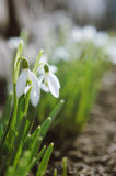 Beautiful blooming snowdrops Royalty Free Stock Image