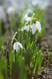 Beautiful blooming snowdrops Royalty Free Stock Images