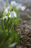 Beautiful blooming snowdrops Royalty Free Stock Photo