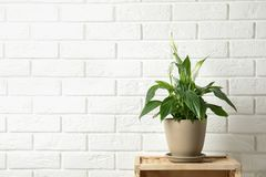 Beautiful blooming spathiphyllum in pot on table near brick wall, space for text. royalty free stock photography